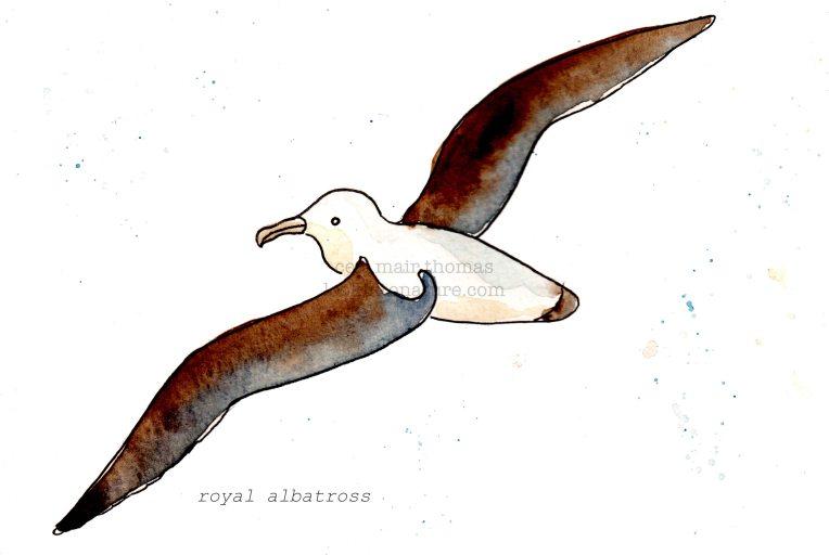 c albatross