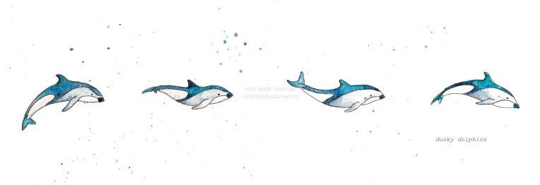 c dusky dolphins 2