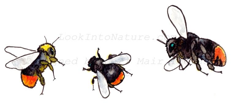 C redtailed bumblebee