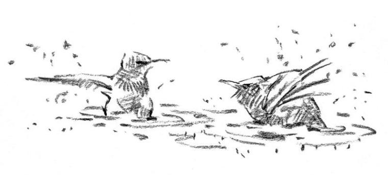 John Busby, Starlings bathing