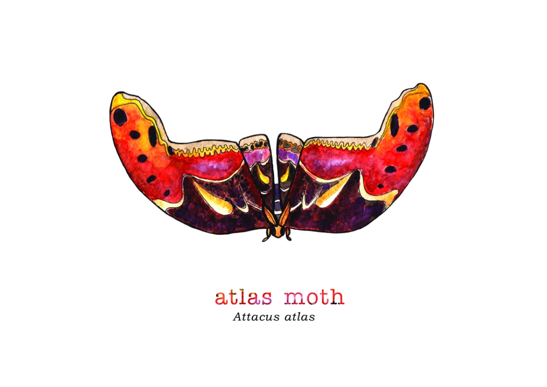 tiny Atlas Moth with name.jpg