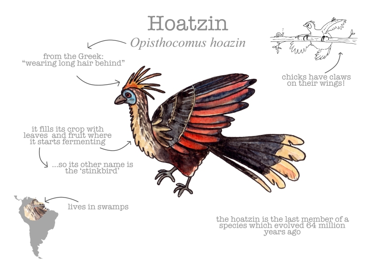 hoatzin-facts