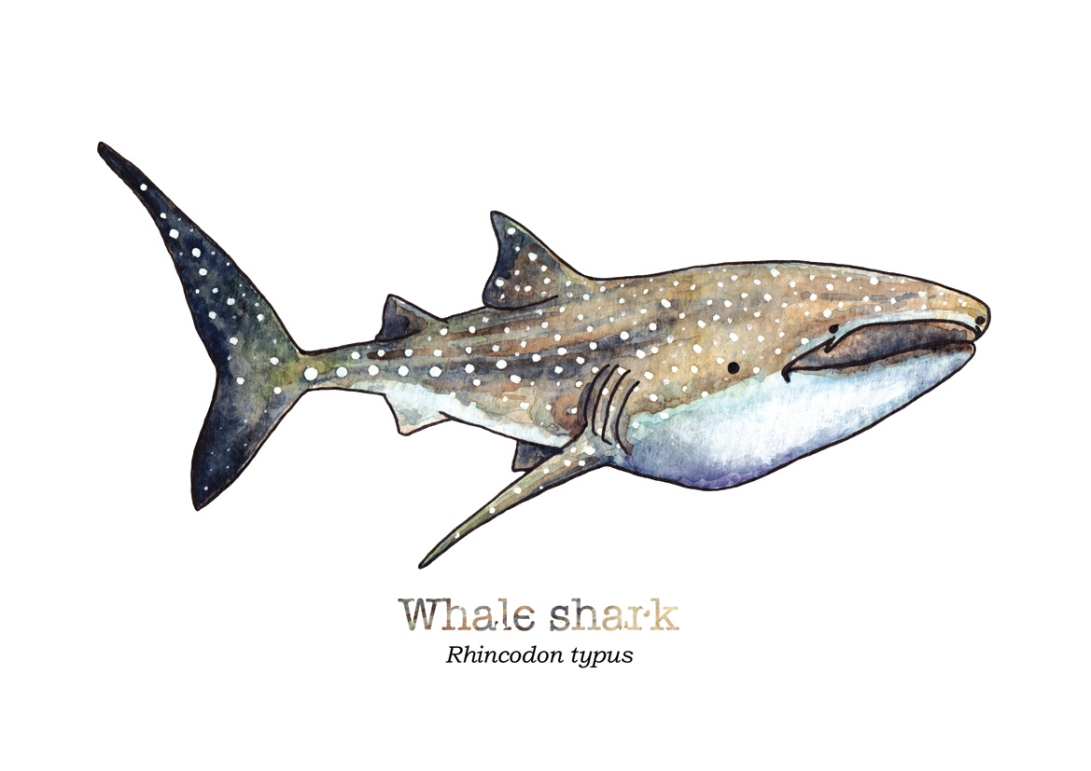 tiny-whale-shark-with-name